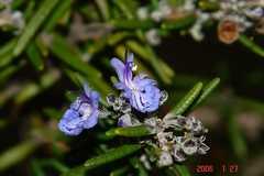 ローズマリーの花。秋から冬にかけて長い間咲いてくれます。クリックすると大きくなります。r