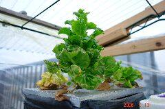 水耕サラダ菜、一株だけ董立ち開始。クリックすると大きくなります。r