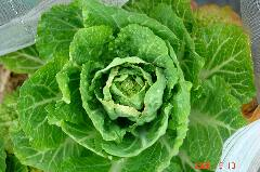ミニ白菜も蕾が付きました。クリックすると大きくなります。r
