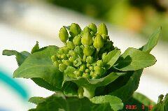 てっぺんの菜の花。クリックすると大きくなります。r