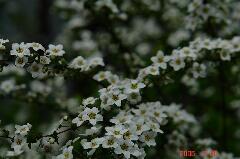 小さな花だけどこれだけ沢山咲くとなかなか豪華に見えてしまいます。クリックすると大きくなります。r