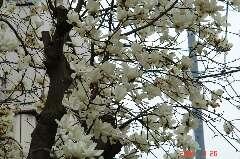 辛夷でよろしいでしょうか?Ikukoさん。最初見たときハナミズキがもう咲いてる?って思ったけどいくらなんでも早すぎるよね。クリックすると大きくなります。r