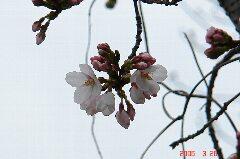 やっと見つけた桜の開花。でも人が多かったのでそのあたりを一周してきました。クリックすると大きくなります。r