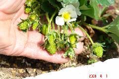 花が咲き受粉すれば実になるのです。クリックすると大きくなります。r