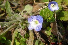 こんな可愛い花に何でフグリの名が付いたか。クリックすると大きくなります。t