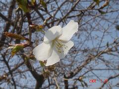職場の桜も咲き始めましたよ。クリックすると大きくなります。