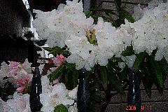 つつじの仲間ですかね?大きな花です。クリックすると大きくなります。t