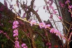 枝の周りに沢山の花が付いてます。クリックすると大きくなります。t