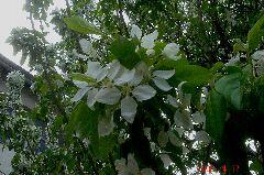 枝にまとわり付くように咲いています。クリックすると大きくなります。t