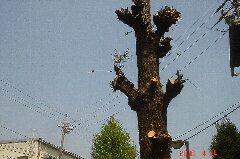 銀杏(いちょう)の木にシュロの葉っぱ?クリックすると大きくなります。t