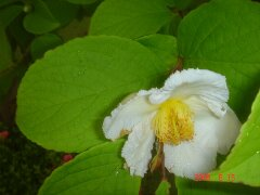 夏ツバキ、白い花です。クリックすると大きくなります。t