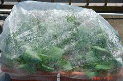 不織布ドームで守られている青帝チンゲン菜。クリックすると大きくなります。r