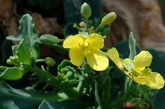 脇芽からの開花です。クリックすると大きくなります。r