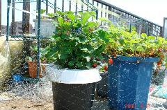 最近元気!ゴミ箱水耕のいちごです。クリックすると大きくなります。r