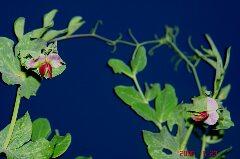 キヌサヤが再び開花。クリックすると大きくなります。r