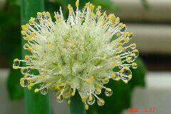 1・葱坊主、言わずと知れたネギの花、雫が綺麗。クリックすると大きくなります。r