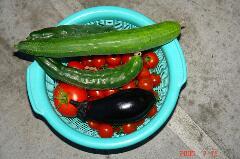 トマトがいっぱい採れてます。クリックすると大きくなります。r