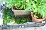 空芯菜の腰水栽培