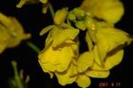 雨の菜の花