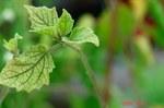 ハダニにやられた食用ほうずきの葉っぱ