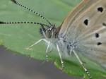 シジミ蝶の横顔