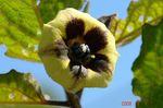 食用ほうずきの花1