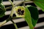 食用ほうずきの花2
