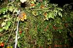 水耕栽培ミニトマト、アイコ1号