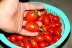 水耕栽培ミニトマト、アイコ収穫