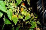 水耕栽培ミニトマト、アイコ4号