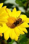 黄色の菊に蜂。クリックして大きくしてくださいね。r1