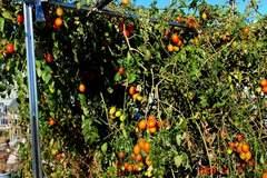 水耕栽培ミニトマト、アイコ2。クリックして大きくしてくださいね。r1