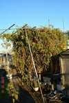 水耕栽培ミニトマト、アイコ1
