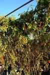 水耕栽培ミニトマト、アイコ2
