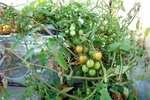水耕栽培ミニトマト、アイココ2