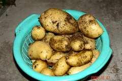 ジャガイモ最後の収穫
