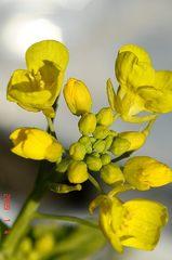 菜の花。クリックして大きくしてくださいね。r1
