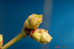 ブルーベリーの花芽ほころぶ。クリックして大きくしてくださいね。r1