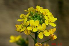 青梗菜の花。クリックして大きくしてくださいね。r1