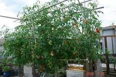 水耕栽培ミニトマト、アイコ全体像。クリックして大きくしてくださいね。r1