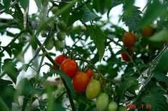 水耕栽培ミニトマト、アイコ。クリックして大きくしてくださいね。r1