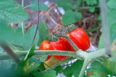 水耕栽培ミニトマト、アイココ。クリックして大きくしてくださいね。r1