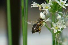 日本ミツバチ。クリックして大きくしてくださいね。r1