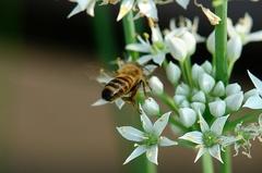 西洋ミツバチ。クリックして大きくしてくださいね。r1