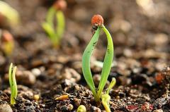 ホウレンソウの発芽。クリックして大きくしてくださいね。r1