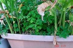 落花生を収穫、冥加と同居です。クリックして大きくしてくださいね。r1