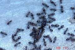 女王蟻。クリックして大きくしてくださいね。r1