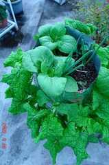 ナバナと青梗菜。クリックして大きくしてくださいね。r1
