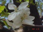 りんごの花?1