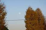 イチョウと月。クリックして大きくしてくださいね。r1